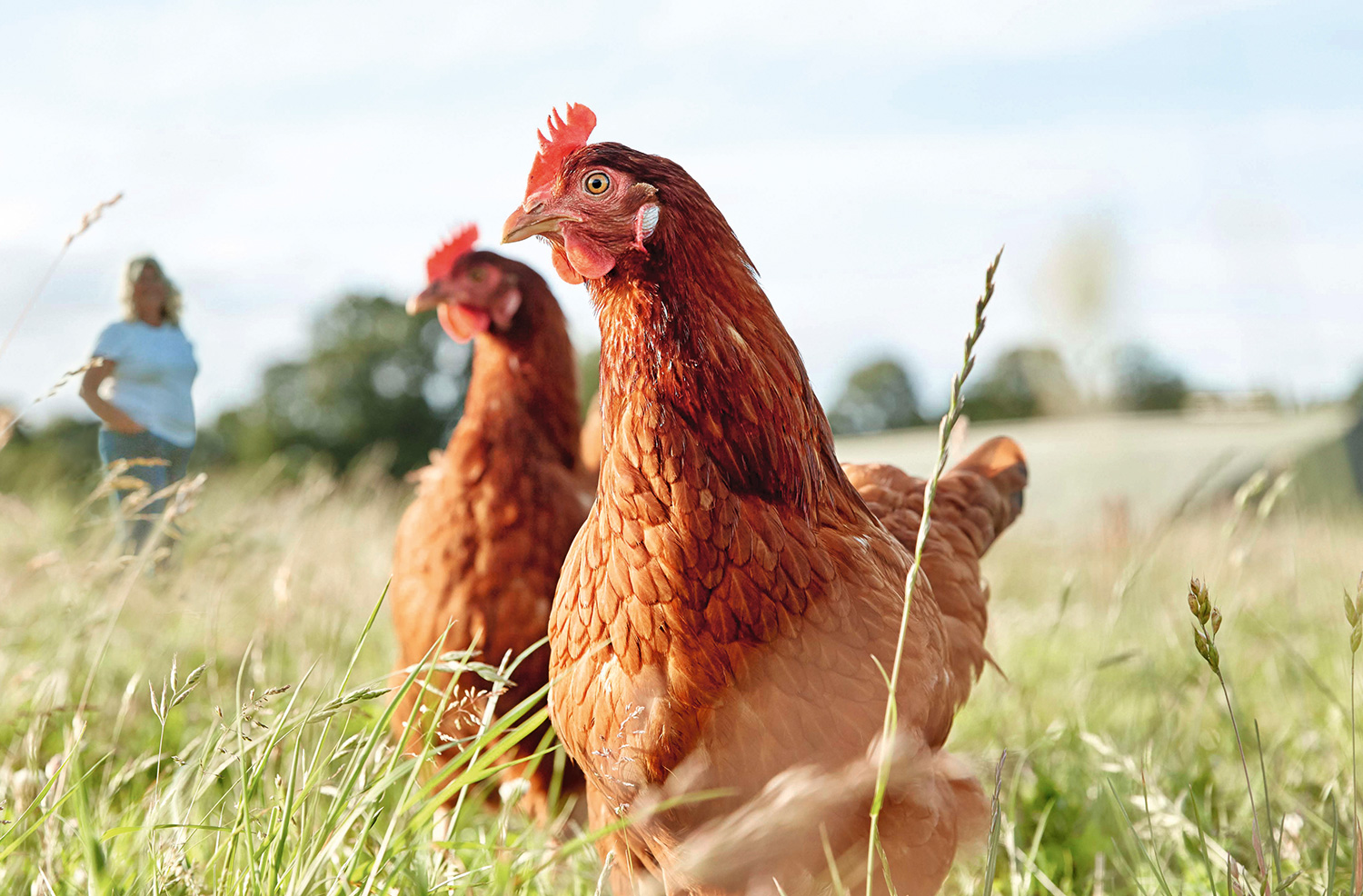 image of hens