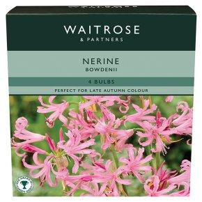 Waitrose Nerine Bowdenii Bulbs