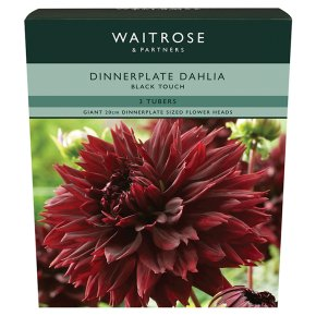 Waitrose Dinnerplate Dahlia Black Touch Tubers