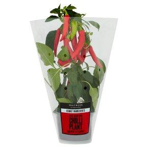 Cooks' Ingredients Chilli Plant
