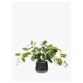John Lewis Golden Pothos Plant Black Pot