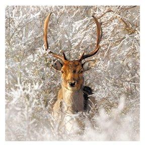 Deer In Snowy Woods Card