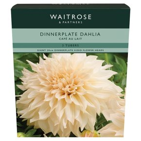Waitrose Dinnerplate Dahlia Cafe Au Lait Tubers