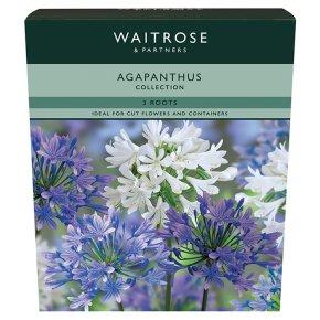 Waitrose Apaganthus Collection Bulbs